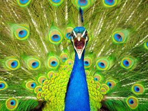peacock-new-zealand_10933_990x742[1]